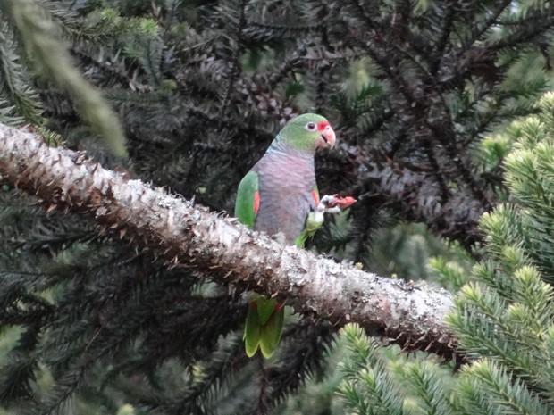 papagaio-de-peito-roxo RS Nossa Terra (Foto: UPF/Divulgação)