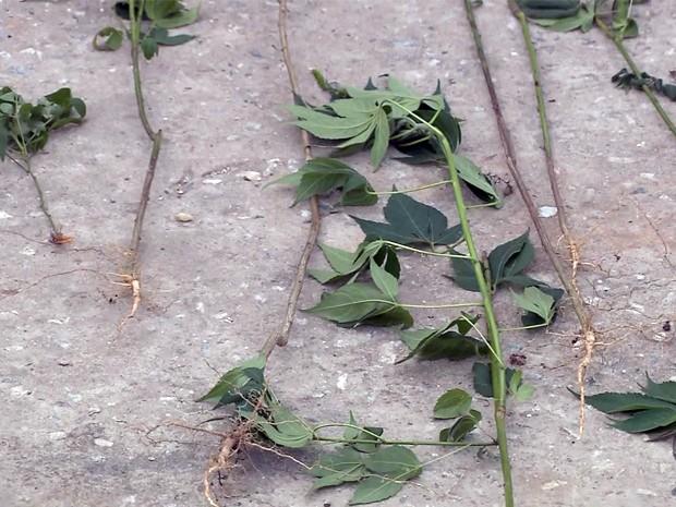 Mais de 100 pés de maconha são encontrados em Pouso Alegre, MG (Foto: Reprodução EPTV)