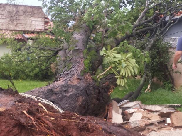 Queda de árvore nesta quinta-feira (22) em Americana (SP) (Foto: Sérgio Evangelista)