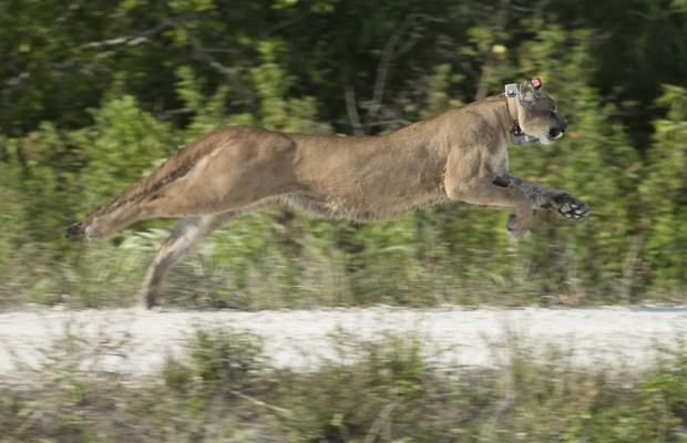 Os animais libertados estão saudáveis e em condições de sobreviverem na natureza, dizem as autoridades da Flórida. Tanto o puma que foi liberado nesta quarta (3) quanto sua irmã foram resgatados quando tinham apenas 5 meses de vida, de acordo com agências de notícias (Foto: J Pat Carter/AP)