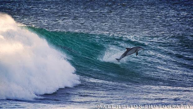Fotógrafo flagrou golfinhos surfistas em praia da costa oeste da Austrália (Foto: Divulgação/Matt Hutton)