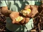 Produtividade do milho safrinha agrada os agricultores de SP