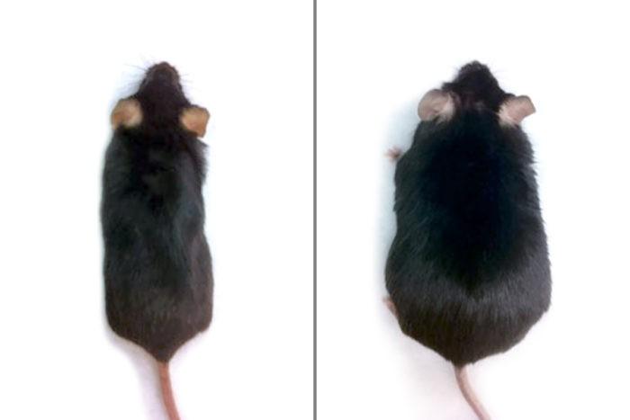 Diferença de peso entre dois ratos com vida e dieta semelhantes. O da esquerda recebeu tratamento, o da direita não. (Foto: Long lab)