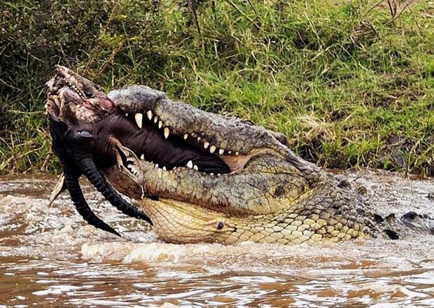 Em 2011, O fotógrafo Paolo Torchio flagrou um crocodilo de mais de 6 metros devorando uma carcaça de um antílope na reserva nacional de Maasai Mara, no Quênia. Segundo Torchio, outros répteis de tamanho menor ficaram só observando enquanto o 'monstro' devorava o antílope de mais de 130 quilos com chifre e tudo (Foto: Paolo Torchio/Barcroft USA/Getty Images)