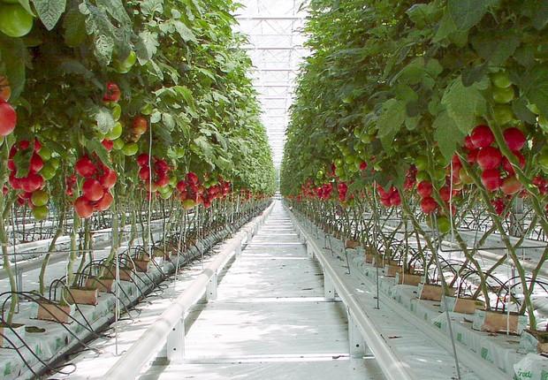 Plantão de tomates em estufas na Holanda: país está na ponta da corrida tecnológica na produção de alimentos (Foto: Reprodução/YouTube)