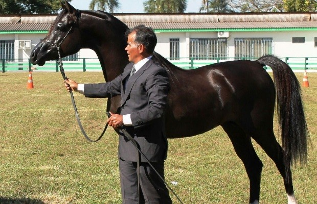 Com criação em alta, cavalo árabe pode custar até R$ 300 mil, em Goiás (Foto: Arquivo pessoal)