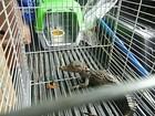 Filhote de jacaré-coroa é resgatado na Zona Norte de Manaus