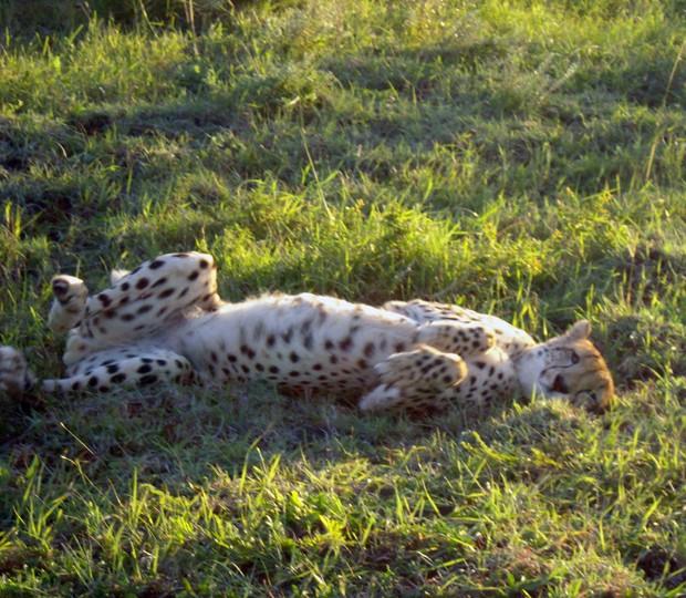 Guepardo se 'espreguiça' e rola no chão ao ser fotografado, em parque na África do Sul (Foto: Matthew Craft/AP)