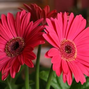 Gérberas cor-de-rosa melhoraram o meu dia. A florista não vende produtos. Vende experiências (Foto: SXC)
