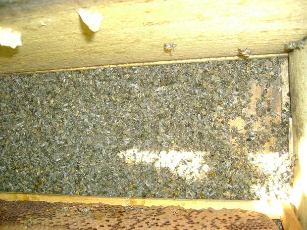 Abelhas podem ter morrido por pulverizador usado contra a dengue (Foto: Eduardo Perez/Arquivo Pessoal)