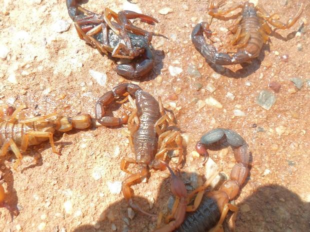 Escorpiões que apareceram em casas de Natividade, no sudeste do Tocantins  (Foto: Verônica Tavares/VC no G1)
