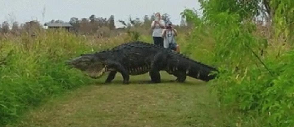 Jacaré gigante filmado em reserva na Flórida é comparado a Godzilla (Foto: Kim Joiner/Facebook)