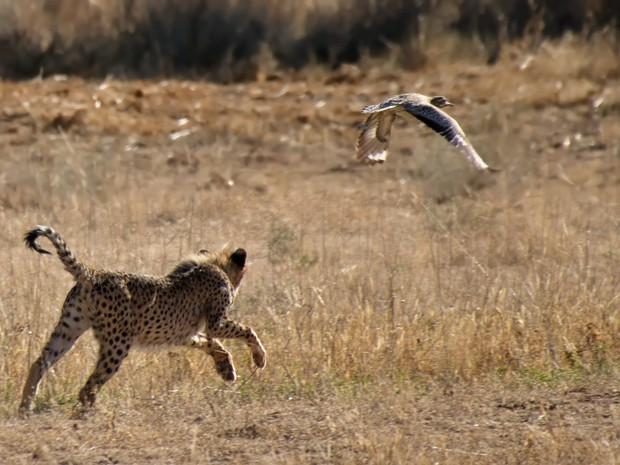 jovem guepardo_terradagente (Foto: Claudia Komesu/ Vc no TG)