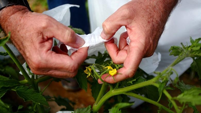 Saco de não-tecido para ensacamento de tomate (Foto: Divulgação)