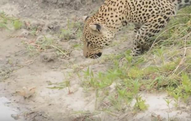 Ave aproveitou descuido de leopardo para fugir (Foto: Reprodução/YouTube/Kruger Sightings)