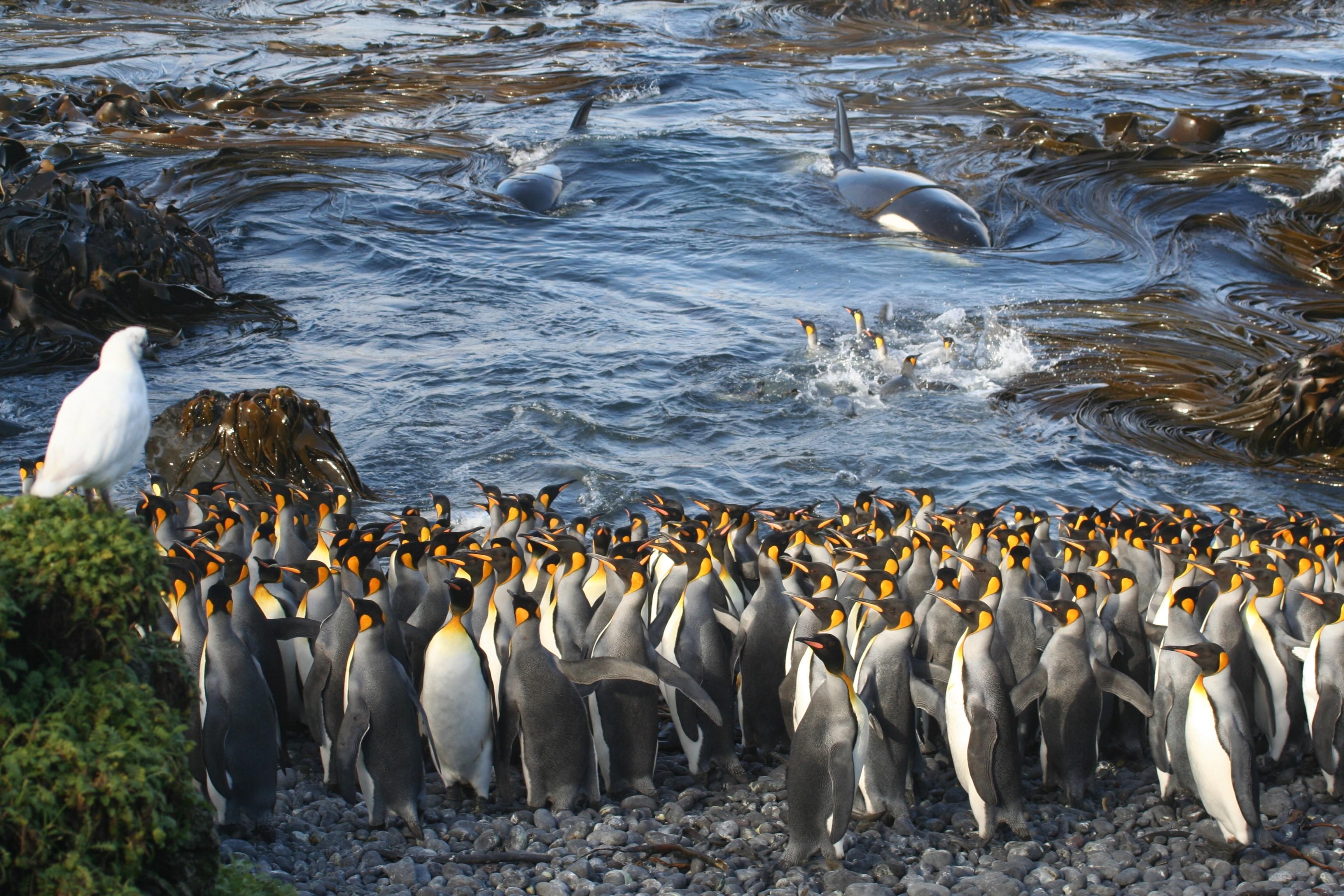 """Na categoria """"Ecologia"""", Nico de Bruyn foi vencedor ao clicar Pinguins-Rei na Ilha Marion, localizada em uma região próxima à Antártida (Foto: Nico de Bruyn / Divulgação)"""