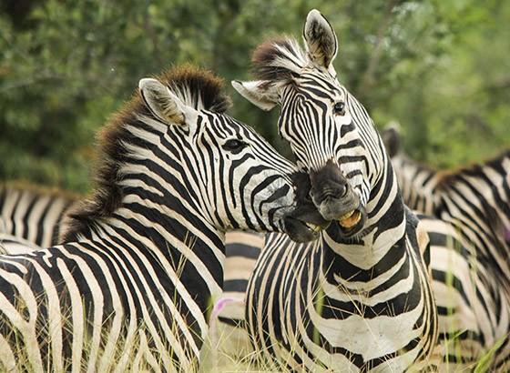 Zebras entre as reservas Moremi e Savuti, em Botsuana (Foto: © Haroldo Castro/Época)