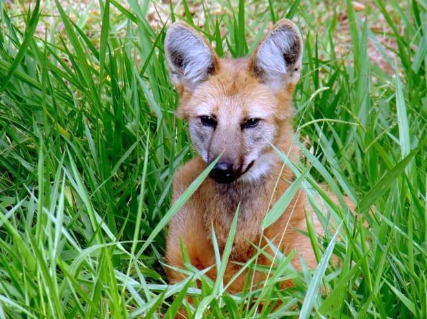 Zoológico de Piracicaba abriga um lobo-guará, o Lobão, desde março de 2014 (Foto: Claudia Assencio/G1)
