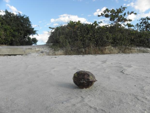 Semente na beira da praia de Jurerê (Foto: Daniela Plucênio/Arquivo pessoal)