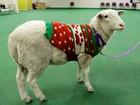 Ovelha usando suéter é encontrada vagando em cidade nos EUA