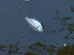 Vazamento causou a morte de diversas espécies de peixes (Foto: Reprodução / EPTV)