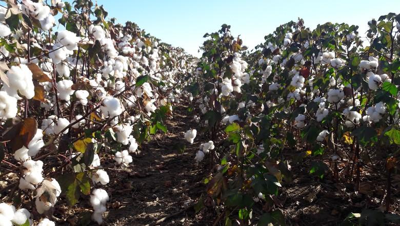 agricultura-algodao-lavoura (Foto: Raphael Salomão/Ed. Globo)