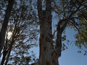 Árvore de eucalipto foi adaptada para receber escaladas (Foto: Tiago Campos / G1)