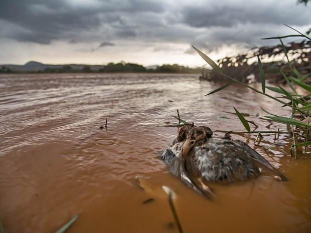 Animais foram mortos após a chegada da lama pelo leito do Rio Doce (Foto: Instituto Últimos Refúgios via BBC)