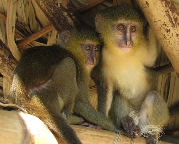 """Filhotes do primata macaco-lasula capturados em região da República Democrática do Congo (Foto: Reprodução/""""PLoS One"""")"""