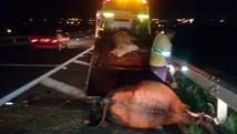 Dez animais morrem atropelados em rodovia (Donizeti Raimundo / Arquivo Pessoal)