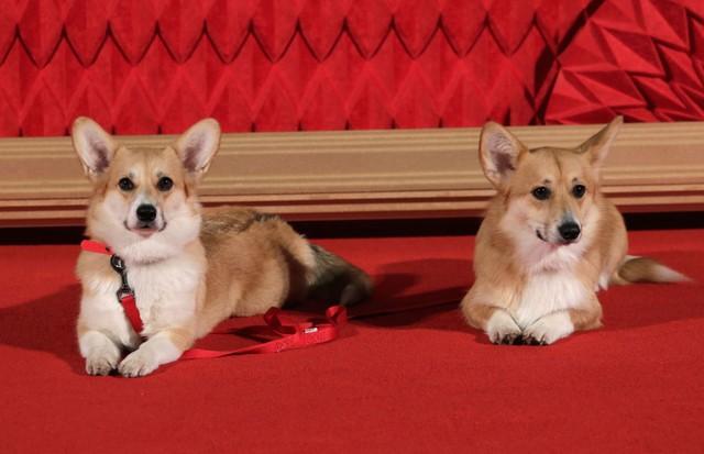 """Corgi no red carpet de """"The Crown"""" (Foto: Getty Images)"""