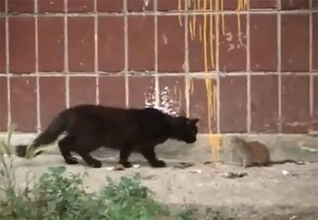 Um vídeo publicado na internet mostra um gato e rato se encarando na Rússia. No final, o roedor acabou afugentando o 'predador' (Foto: Reprodução)