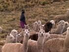 Trabalho de pastor sobrevive quase sem mudar há dez mil anos