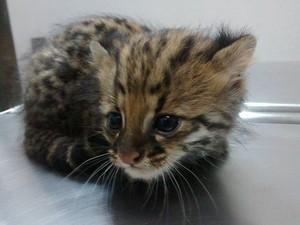 Filhote de gato do mato foi resgatado de incêndio em mata  (Foto: Jefferson Leite / Arquivo Pessoal)