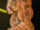 Cientistas descobrem posição sexual inédita de rãs em floresta da Índia