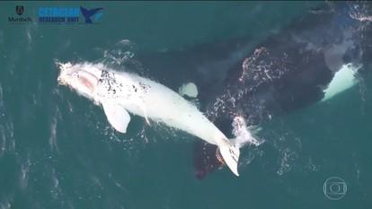 Filhote de baleia rara é localizado na Austrália