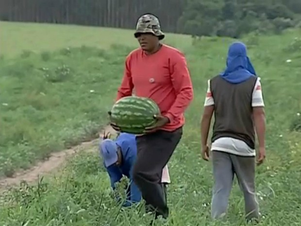 Em Guareí, produtores fazem a colheita da melancia (Foto: Reprodução / TV TEM)