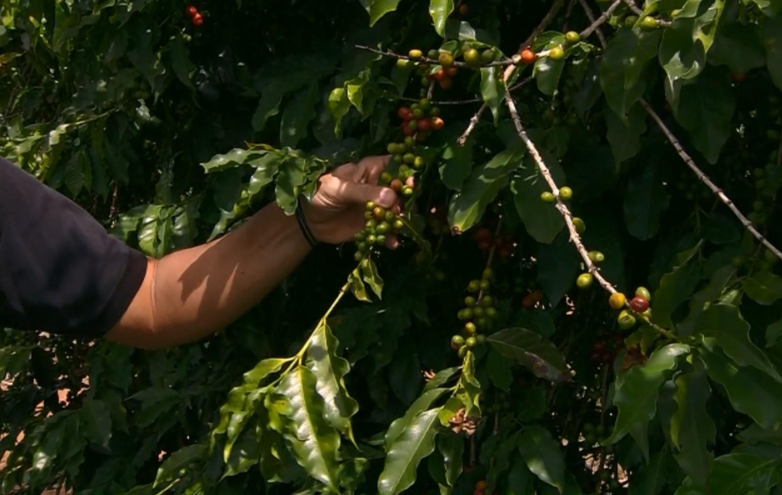 Aumento da ferrugem pode atrapalhar produção de café para próxima safra no Sul de Minas (Foto: Reprodução EPTV)
