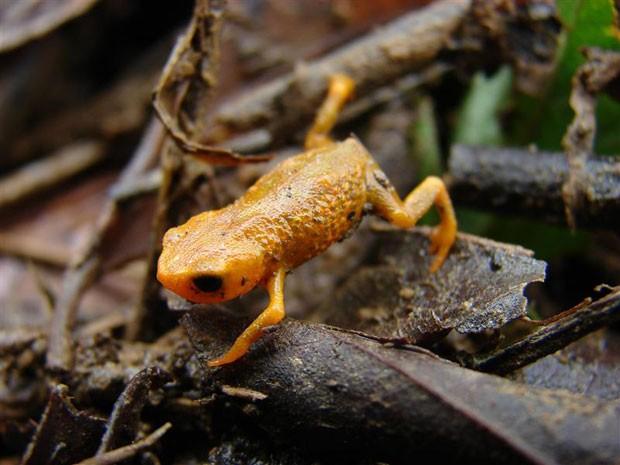 Nova espécie de anfíbio anuro 'Brachycephalus tridactylus' identificada na Reserva Natural Salto Morato, em Guaraqueçaba, litoral norte do Paraná.  (Foto: Divulgação/Reuters)