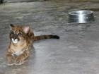 Veja fotos da Gretchen, filhote de onça parda criada em cativeiro