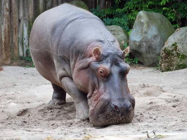 Hipopotamo Maikel (Foto: Divulgação/Zoo Frankfurt)