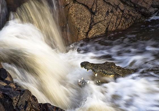 Um crocodilo-do-nilo espera, de boca aberta, um peixe passar por sua boca, no rio Grande Ruaha  (Foto: © Mikael Castro)