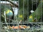 ONG de Jundiaí recebe centenas de papagaios apreendidos