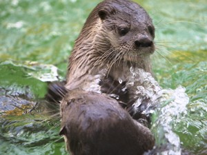 Entre seis e 11 lontras vivem na Lagoa do Peri (Foto: Projeto Lontra/Divulgação)