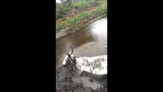 Vaca de 250 kg atola às margens de rio e é resgatada por 4 homens em PE