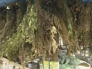 Hipérico, ou erva de São João, é usada para tratar o autismo (Foto: Reprodução/TV Globo)