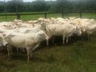 Polícia prende dois por furto de gado em MS e recupera 40 animais