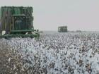 Clima atrapalha desenvolvimento do algodão e prejudica colheita