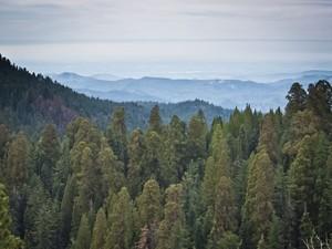 A floresta de árvores gigantes no Sequoia National Park (Foto: Mladen Antonov/AFP)