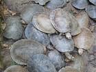 Ibama apreende 362 tartarugas que seriam vendidas em Manaus